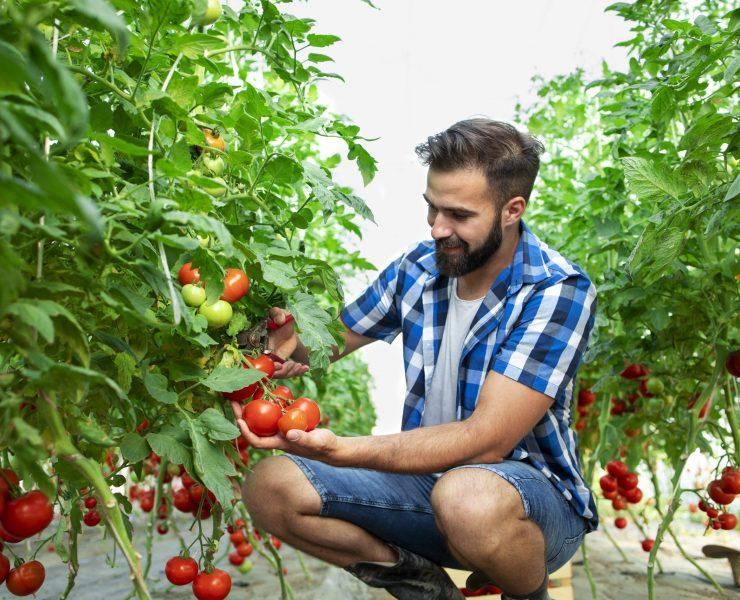 Farmer picking fresh ripe tomato vegetables for the market sale.